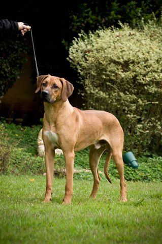 Rex Ventors Princeton Malabo Apd Rhodesian Ridgeback